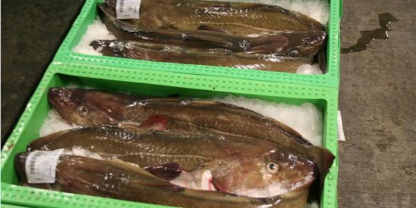 Den videnskabelige rådgivning skal forbedres, mener Dansk Fiskeri. Foto: Danmarks Fiskeriforening