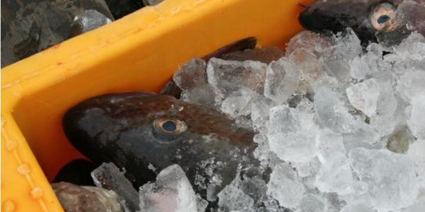 Arkivfoto: Danmarks Fiskeriforening